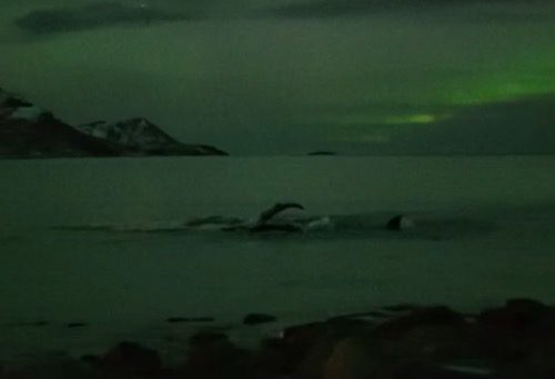 Whales play under the Northern Lights